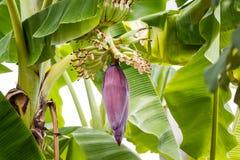 Цветок банана с плодоовощами на ветви Стоковая Фотография
