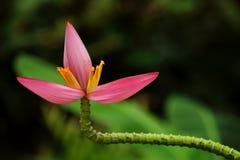цветок банана Стоковая Фотография