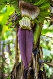 Цветок банана Стоковые Изображения
