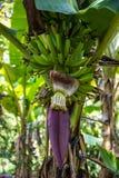 Цветок банана Стоковые Изображения RF