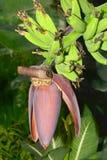 Цветок банана Стоковая Фотография RF