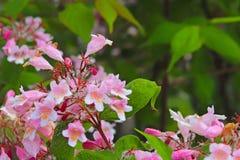 Цветок барбариса в солнце Голубой цветок в капельках росы на запачканной зеленой предпосылке Заводы лугов зоны Стоковые Фотографии RF