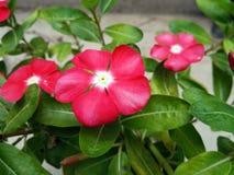 Цветок барвинка Мадагаскара, цвет клубники стоковые фото