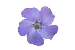 Цветок барвинка Стоковая Фотография RF