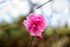 Цветок бегонии в парке стоковые изображения rf