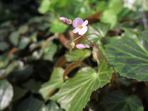 цветок бегонии Стоковое Изображение