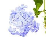 Цветок бегства auriculata плумбаго Стоковая Фотография RF