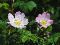 Цветок бедер розовый в солнце Голубой цветок в капельках росы на запачканной зеленой предпосылке Заводы лугов зоны w Стоковая Фотография RF