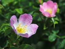 Цветок бедер розовый в солнце Голубой цветок в капельках росы на запачканной зеленой предпосылке Заводы лугов зоны w Стоковые Фото