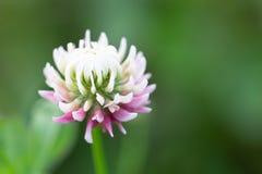 Цветок белого клевера в крупном плане с красивым зеленым bokeh стоковая фотография