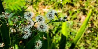 Цветок белого лотоса стоковые фотографии rf