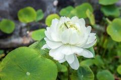 Цветок белого лотоса в одичалом, на предпосылке пруда, с малым кузнечиком на лепестке стоковые изображения rf