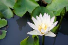 Цветок белого лотоса зацветая в пруде стоковое изображение rf