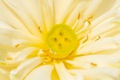 Цветок белого лотоса и тычинка стоковые фото