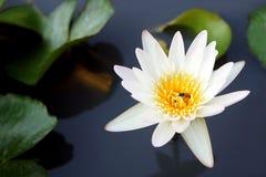 Цветок белого лотоса при пчела меда зацветая в пруде стоковая фотография rf