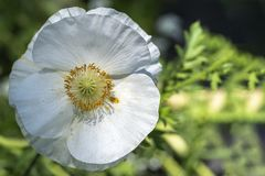 Цветок белого мака округлой формы стоковое изображение