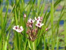 Цветок белой воды в реке, Литве Стоковое фото RF