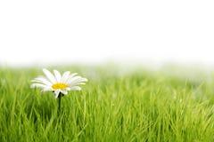 Цветок белой маргаритки в зеленой траве Стоковое Фото