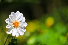 Цветок белой маргаритки в саде на утре Стоковая Фотография RF