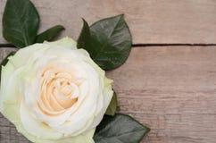 Цветок белой розы на деревянной предпосылке Стоковая Фотография