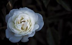 Цветок белой розы на темной предпосылке Стоковое Изображение RF