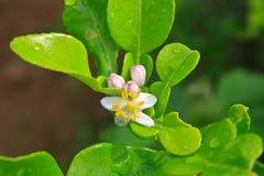 Цветок бергамота приносить на дереве стоковые фотографии rf