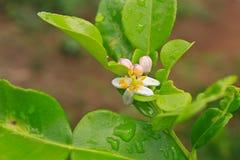 Цветок бергамота приносить на дереве стоковые изображения