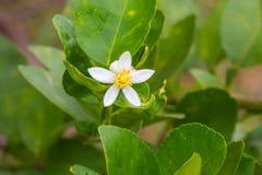 Цветок бергамота приносить на дереве стоковая фотография rf