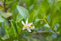 Цветок бергамота приносить на дереве стоковое фото