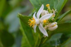 Цветок бергамота приносить на дереве стоковое изображение