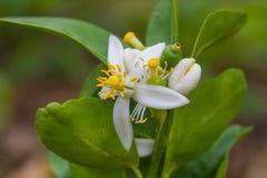 Цветок бергамота приносить на дереве стоковое фото rf