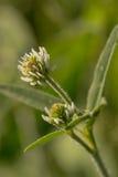 Цветок белого клевера Стоковое Изображение