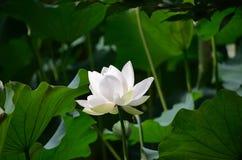 Цветок белого лотоса, Киото Япония Стоковые Изображения RF
