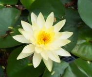 Цветок белого лотоса Стоковое Изображение