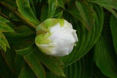 Цветок белого пиона Стоковое Фото