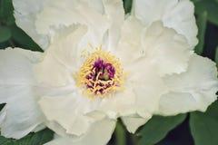 Цветок белого похожего на дерев конца-вверх пиона стоковые изображения