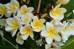 Цветок белого frangipani тропический, зацветать цветка plumeria свежий Стоковые Фотографии RF