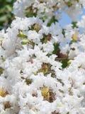 Цветок белого Lagerstroemia indica Стоковые Фото
