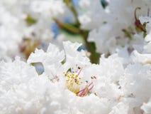 Цветок белого Lagerstroemia indica Стоковое фото RF