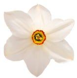 Цветок белого narcissus Daffodil изолированного на белизне Стоковые Изображения RF