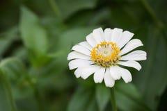 Цветок белого zinnia Стоковые Фотографии RF