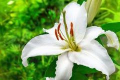 Цветок белой лилии в саде Стоковая Фотография RF