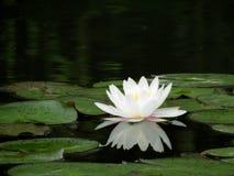 Цветок белой лилии Стоковые Фотографии RF