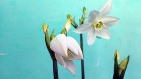 Цветок белой лилии Стоковые Изображения RF