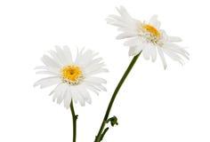 Цветок белой маргаритки Стоковые Фото