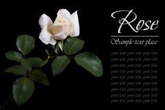 Цветок белой розы изолированный на черноте Стоковая Фотография RF