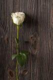 Цветок белой розы на деревянной предпосылке Стоковое фото RF