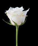 Цветок белой розы на черноте Стоковое фото RF