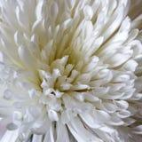 Цветок белой хризантемы Стоковые Фотографии RF