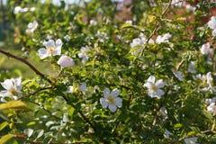 Цветок бедра белой розы на зеленой предпосылке Стоковые Фотографии RF